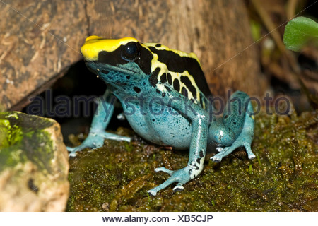 dyeing poison-arrow frog, Dyeing poison frog, dyeing dart frog, poison dart frog (Dendrobates tinctorius), morphe Patricia sitting on wet moss - Stock Photo