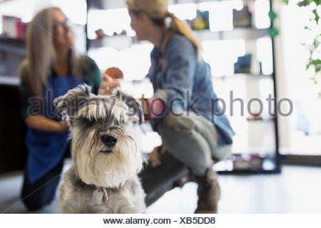 Woman and dog daycare owner talking behind schnauzer - Stock Photo