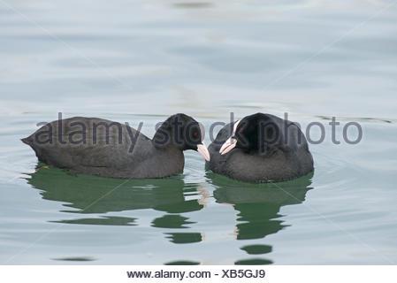 Eurasian Coots Fulica atra allo preening on Lake Geneva Switzerland - Stock Photo