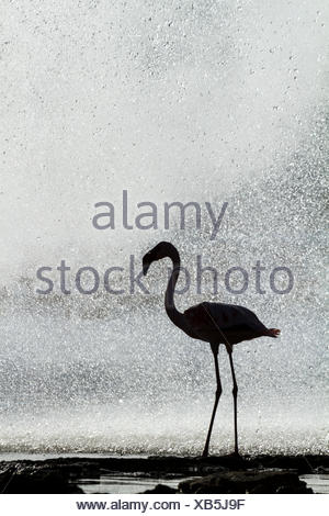 Lesser flamingo (Phoeniconaias minor) silhouetted in front of geyser, Lake Bogoria National Reserve, Kenya. - Stock Photo