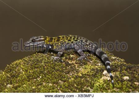 Dwarf gecko, Male Cnemaspis sp, Gekkonidae, Thenmala, Kerala. India - Stock Photo