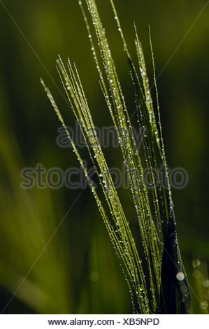 Awns Of The Barley With Dewdrops