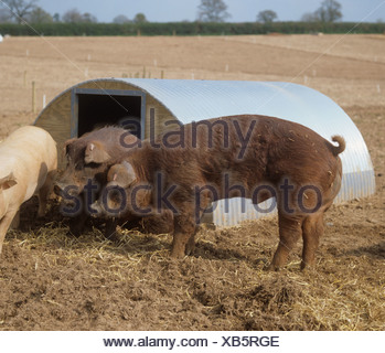 Two duroc boars outside ark on outdoor pig unit in Devon - Stock Photo
