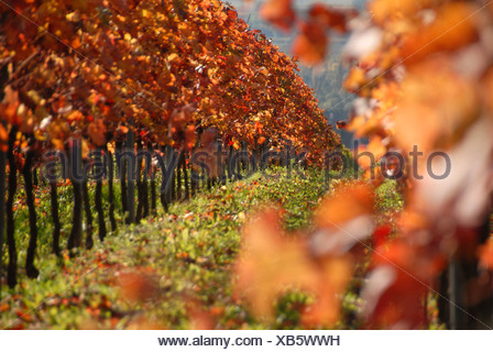 grape (Vitis spec.), grapevines in autumn colouration in a vineyard, Germany, Rhineland-Palatinate, Palatinate