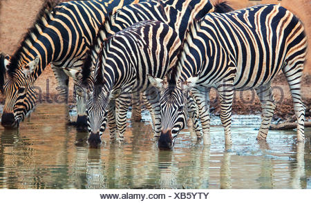 Row of Burchell's Zebra drinking at a watering hole, South Africa - Stock Photo