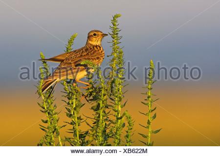 Eurasian sky lark (Alauda arvensis), on plant in evening light, Germany, Rhineland-Palatinate - Stock Photo