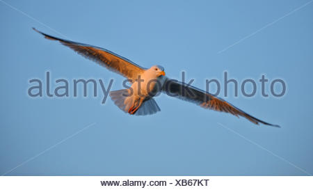 herring gull (Larus argentatus), flying in the evening light, Norway - Stock Photo