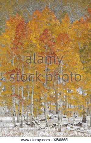 A forest of quaking aspen trees with autumn foliage colours in the snow in Wasatch national forest - Stock Photo