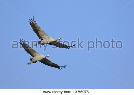 Cranes, Grus Grus, Germany - Stock Photo