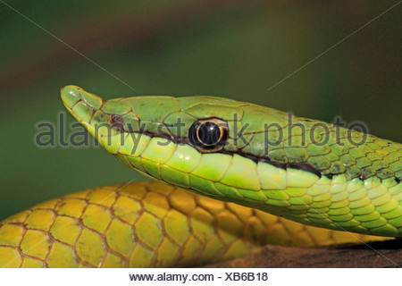 Argentinian Long-nosed Tree Snake (Philodryas baroni), portrait