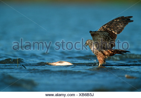 African Marsh-Harrier (Circus ranivorus) Hunting in Water - Stock Photo