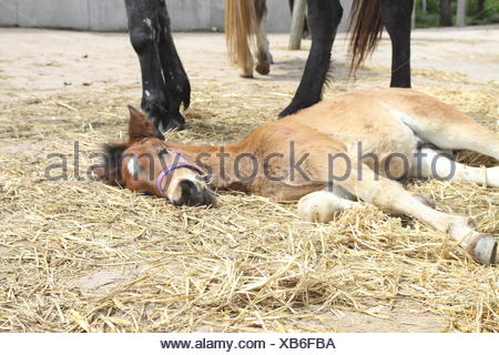 lying Connemarapony foal - Stock Photo