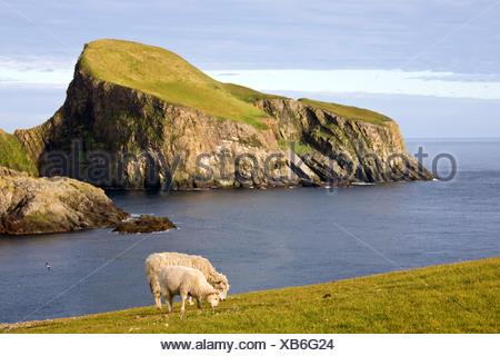domestic sheep (Ovis ammon f. aries), female sheep and lamb at the coast of Fair Isle, in the background Sheep Rock, United Kingdom, Scotland, Shetland Islands, Fair Isle - Stock Photo