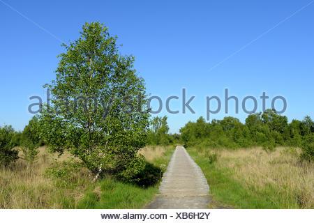 National Park Groote Peel, woodway with birch through highmoor, Netherlands, Limburg, Groote Peel - Stock Photo