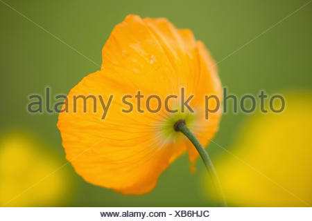 Poppy, Welsh poppy, Meconopsis, Meconopsis cambrica, Beauty in Nature, Colour, Contemporary, Cottage garden plant, Creative, Delicate, Dreamlike, Flower, Autumn Flowering, Spring Flowering, Summer Flowering, Frost hardy, Growing, Outdoor, Perennial, Plant, West Europe indigenous, Wild flower, Orange, - Stock Photo