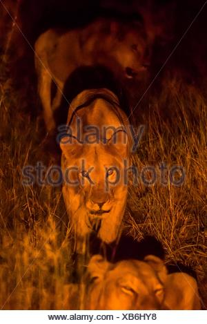 A pride of female lions on the move at night, Kwando Concession, Linyanti, Botswana. - Stock Photo