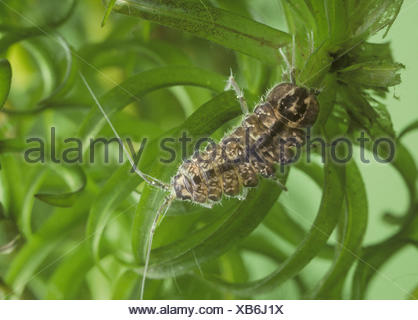 Freshwater Louse - Asellus aquaticus - Stock Photo