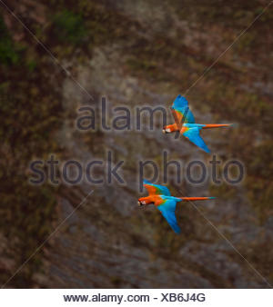 Green winged macaw (Ara chloroptera) pair flying, Chapada dos Guimaraes, Mato Grosso, Brazil - Stock Photo