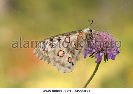 Apollo or Mountain Apollo (Parnassius apollo) - Stock Photo