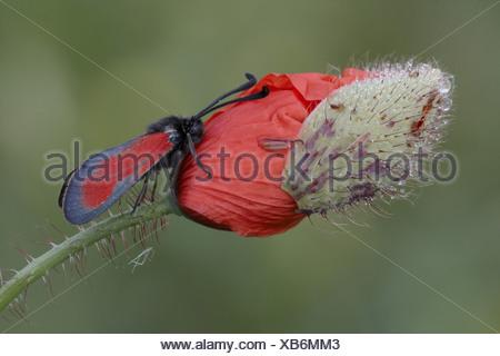 Transparent Burnet (Zygaena purpuralis) adult, resting on Corn Poppy (Papaver rhoeas) opening flowerbud at dawn, Abruzzo, - Stock Photo