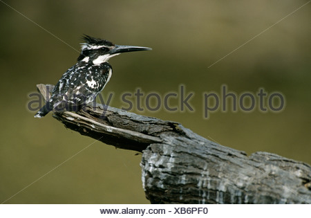 Pied kingfisher Ceryle rudis perched on branch Keoladeo Ghana NP Bharatpur Rajasthan India - Stock Photo