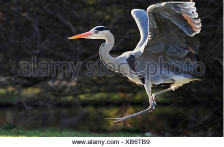 grey heron (Ardea cinerea), landing - Stock Photo