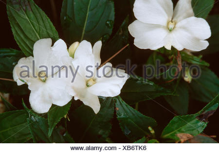 impatiens, Busy Lizzy (Impatiens walleriana), white blooming cultivar - Stock Photo
