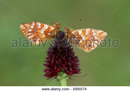 Shepherd's Fritillary (Boloria pales) adult male and female, on Dark Vanilla Orchid (Nigritella nigra) flower, Italian Alps, - Stock Photo