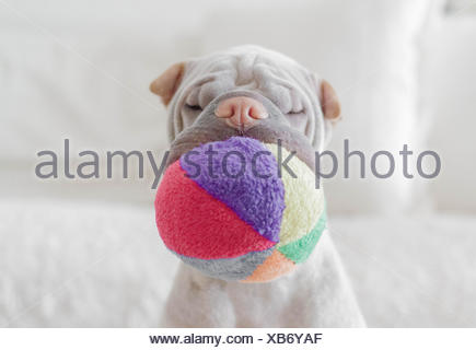 Shar pei dog with soft ball in its mouth - Stock Photo