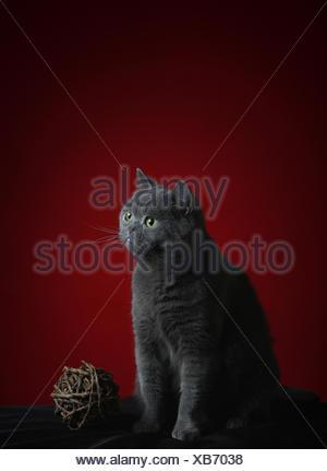 british britisch briton pussycat cat domestic cat pet british britisch briton - Stock Photo