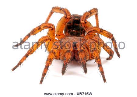 Trapdoor spider (Liphistius erawan), very poisonous Trapdoor spider from Thailand, cut-out, Thailand - Stock Photo