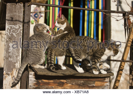 domestic cat, house cat (Felis silvestris f. catus), romping on a viewpoint - Stock Photo