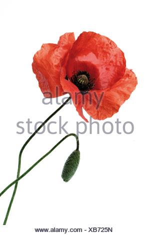 Poppy (Papaver rhoeas) - Stock Photo