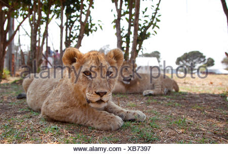 lion (Panthera leo), two lion cubs lying in the shadow on the ground, South Africa - Stock Photo