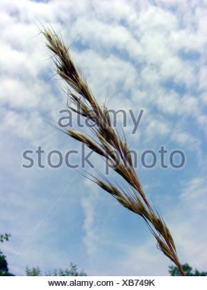 downy oat-grass, downy alpine oat grass (Helictotrichon pubescens, Avenula pubescens, Avena pubescens), inflorescence against b - Stock Photo
