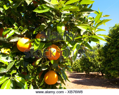 Oranges growing on trees in orchard - Stock Photo