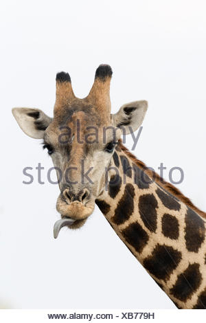 A portrait of a southern giraffe, Giraffa camelopardalis, looking at the camera. - Stock Photo