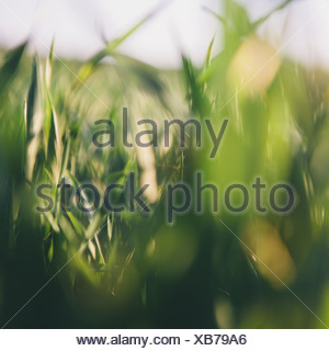 A close up view of a food crop, cultivated wheat growing in a field near Pullman, Washington, USA. - Stock Photo