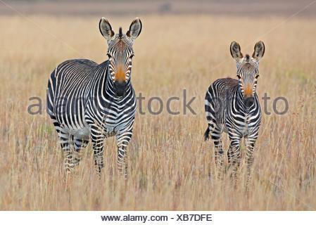 Plains zebra (Equus quagga) with foal in grasslands, Mountain Zebra National Park, Eastern Cape Province, South Africa - Stock Photo