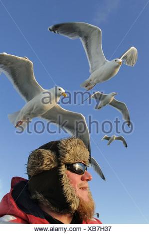 european herring gulls over head, larus argentatus, norway - Stock Photo