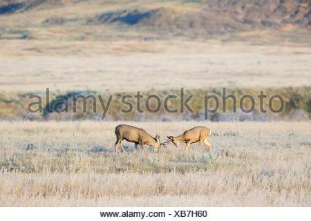 Mule deer (Odocoileus hemionus), bucks sparring on a frosty fall morning, Grasslands National Park, Saskatchewan. (One is a - Stock Photo