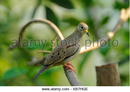 Croaking Ground Dove (Columbina cruziana), sitting on a branch - Stock Photo