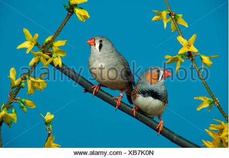 Zebra Finches, pair (Taeniopygia guttata) - Stock Photo