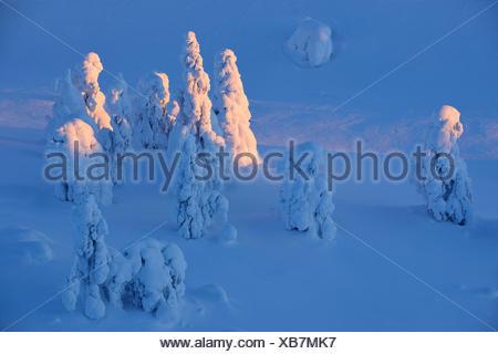 snow covered spruces, Winter, Finland, Pohjois Pohjan, Nordoesterbotten, Kuusamo - Stock Photo
