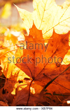 Autumn leaves against the sun, Sweden. - Stock Photo
