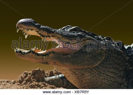 wait waiting orange optional reptile brown brownish brunette mouth teeth asia - Stock Photo
