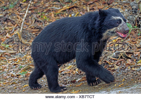 Spectacled bear (Tremarctos ornatus), walking in a forest clearing, Peru, Lambayeque, Reserva Chaparri - Stock Photo