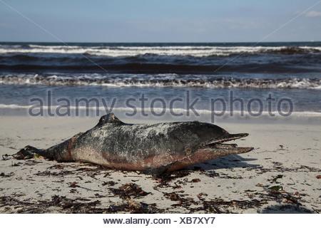 bottlenosed dolphin, common bottle-nosed dolphin (Tursiops truncatus), dead dolphins on the beach, Spain, Balearen, Majorca - Stock Photo