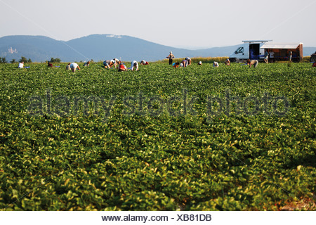 Germany, North Rhine-Westphalia, Berkum, Wachtberg, Harvest at strawberry field - Stock Photo