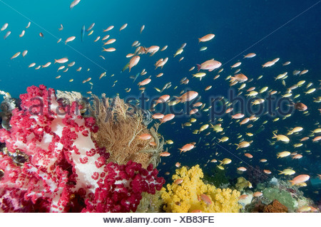 A reef scenic with soft corals crinoids gargonians and a school of yellow and orange-pink Anthias, Pseudanthias sp., Raja - Stock Photo